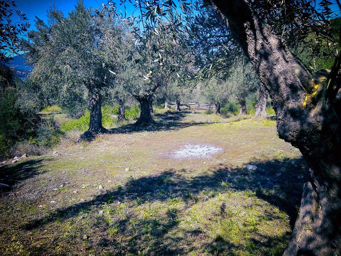 Our olive trees age from 40 years to over 800 years old