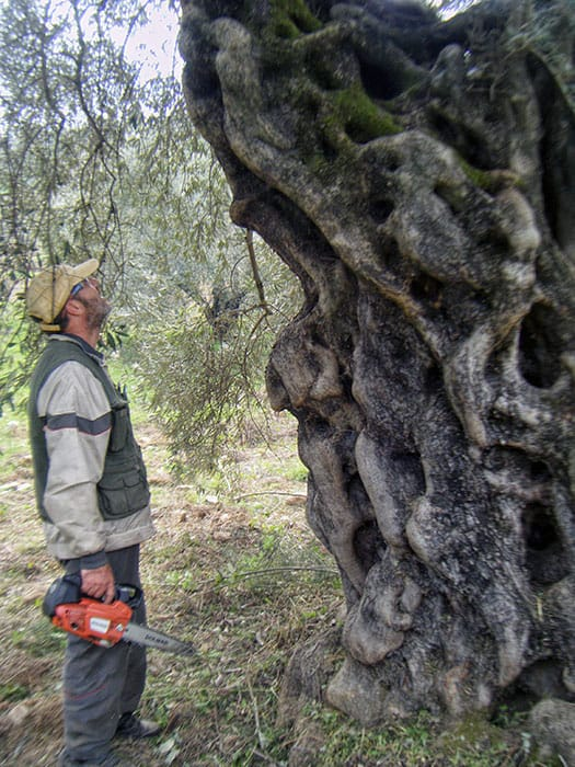 Say hi to Athena! She's the oldest olive tree in our grove and the whole area.