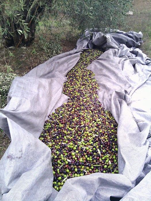 2016 harvest. Myrolion Greek Organic Extra Virgin Cold-Pressed High Phenolic Olive Oil