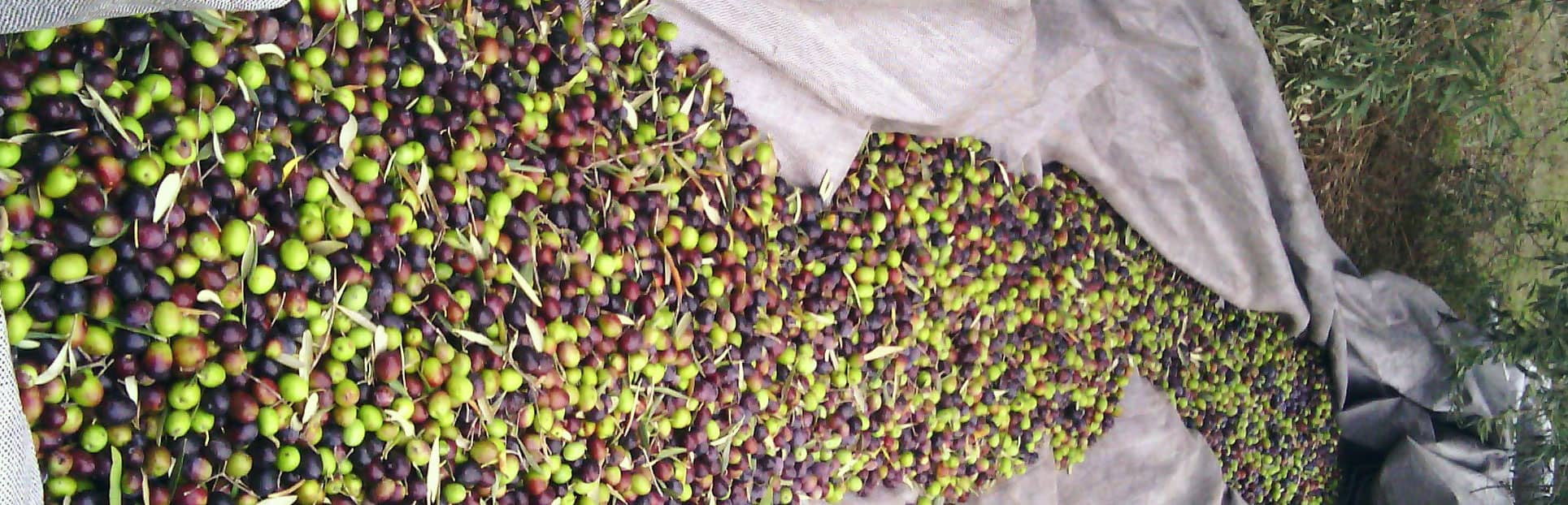 2017 Harvest. Myrolion Greek Organic High Phenolic EVOO. Award-Winning Olive Oil.