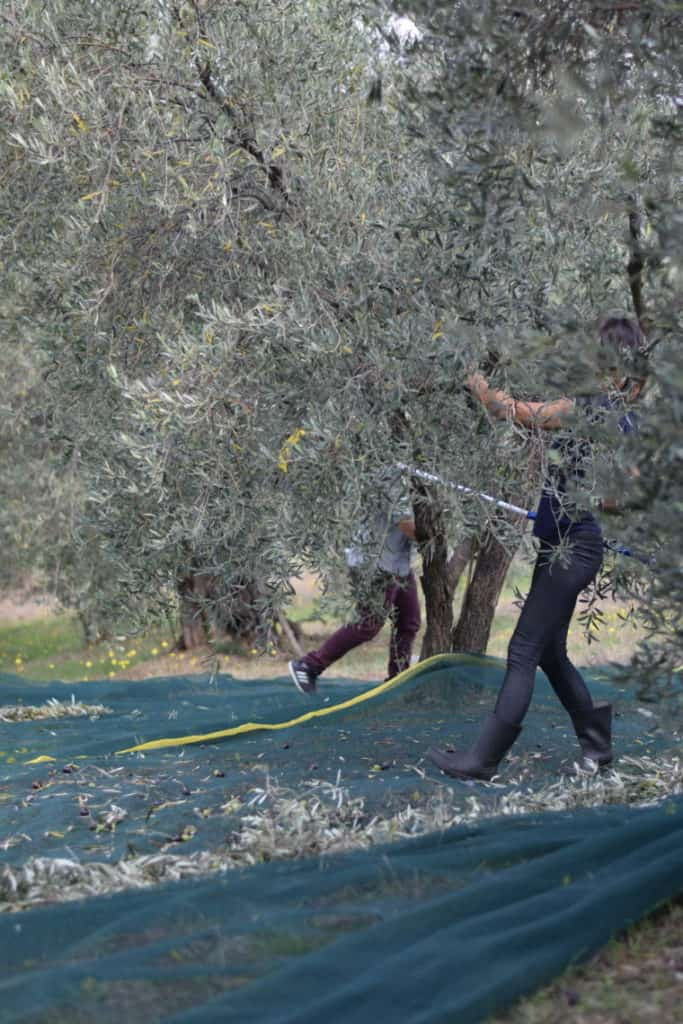 Playing hide and seek among the trees, while harvesting olive fruit.