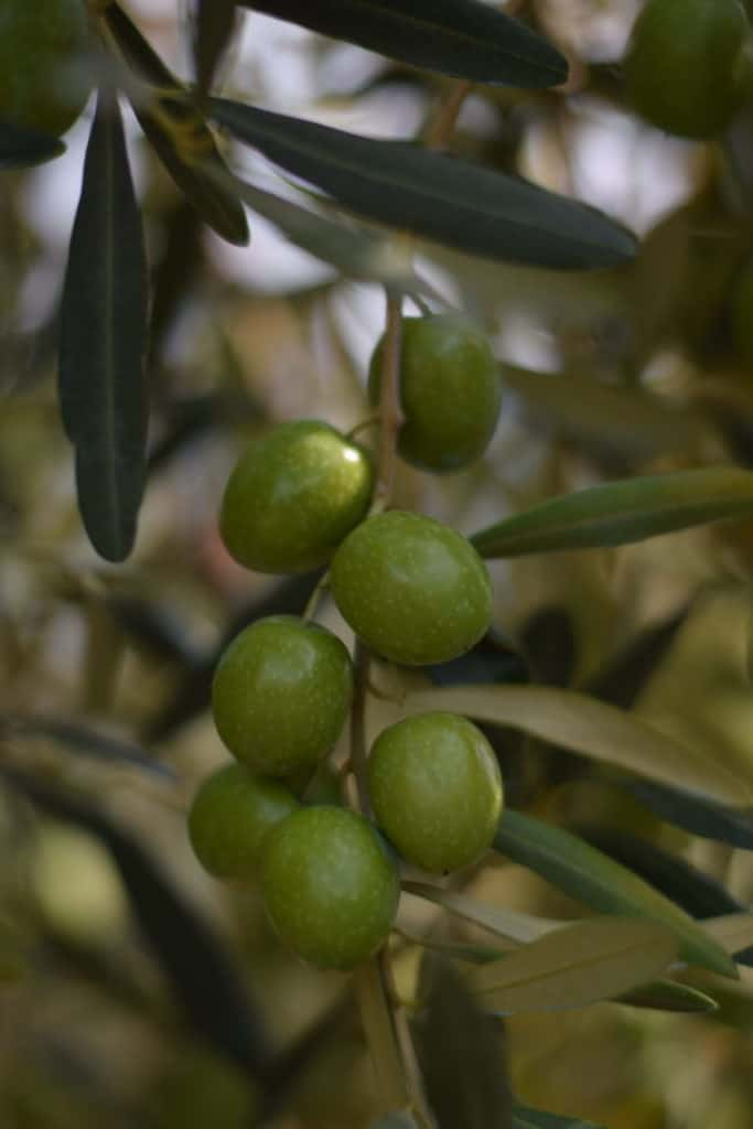 Green olive fruit on the tree, ready to be harvested and turned into Organic, Cold-Pressed, High-Phenolic Extra Virgin Olive Oil.