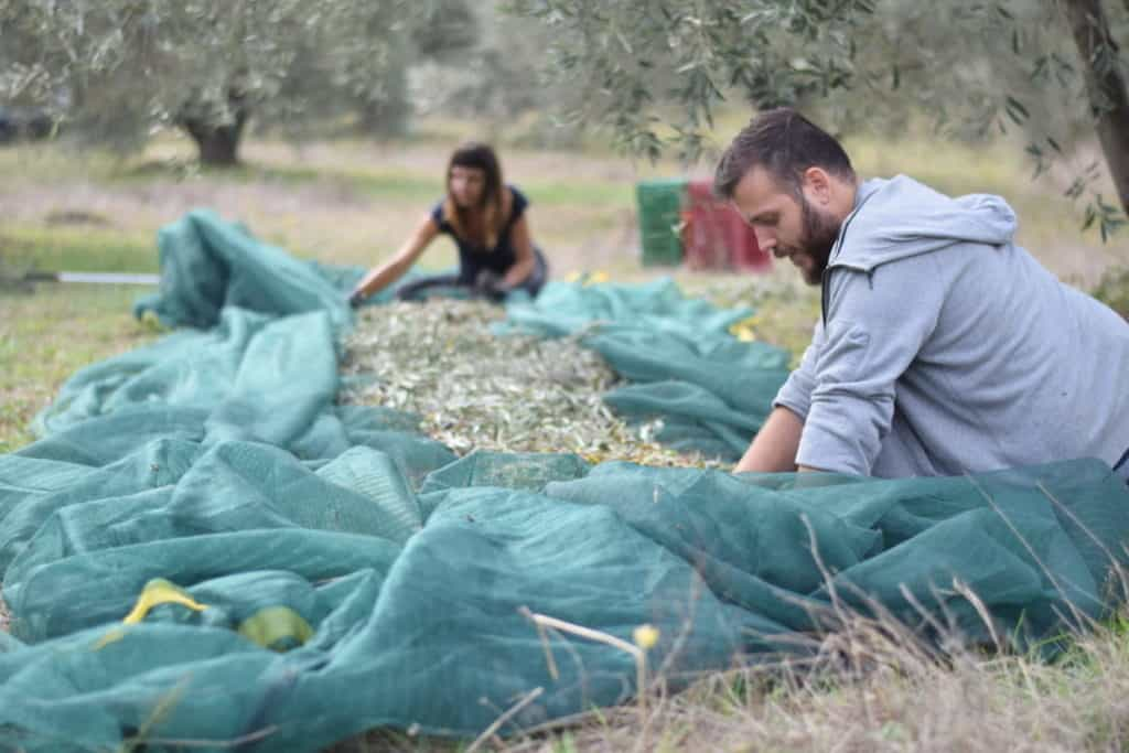 Myrolion family clearing the nets to create Greek olive oil