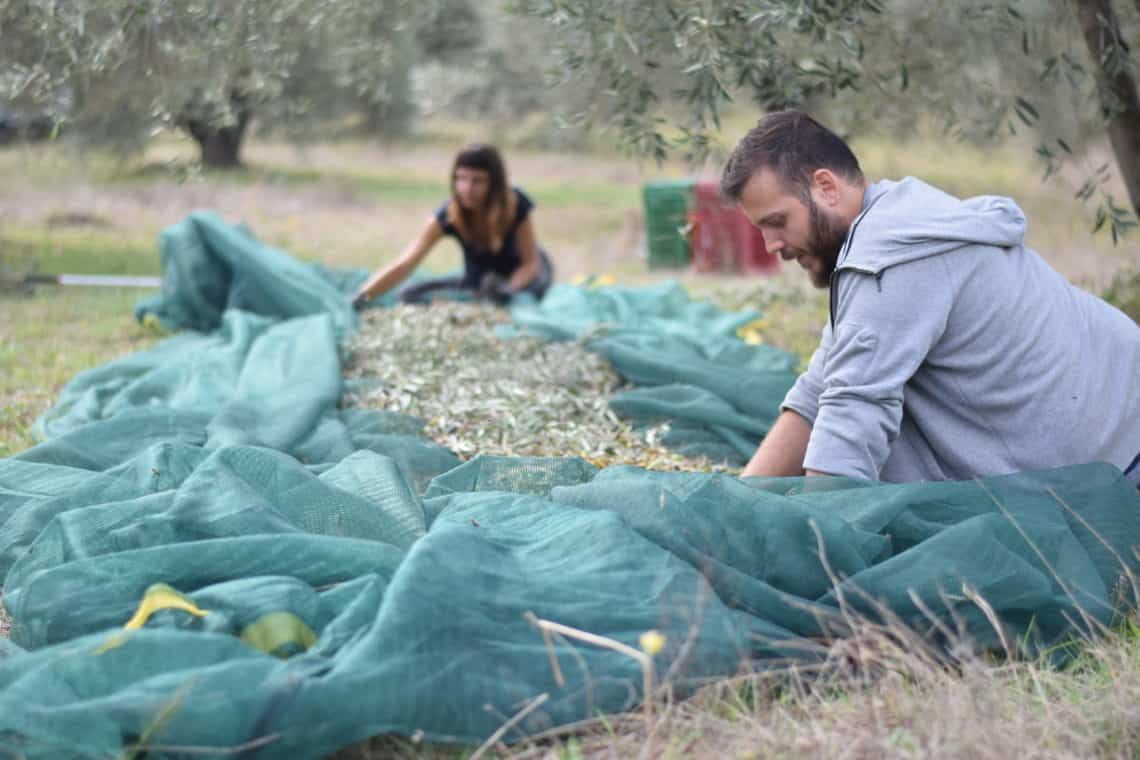 Myrolion family clearing the nets to create Greek olive oil, the best olive oil.