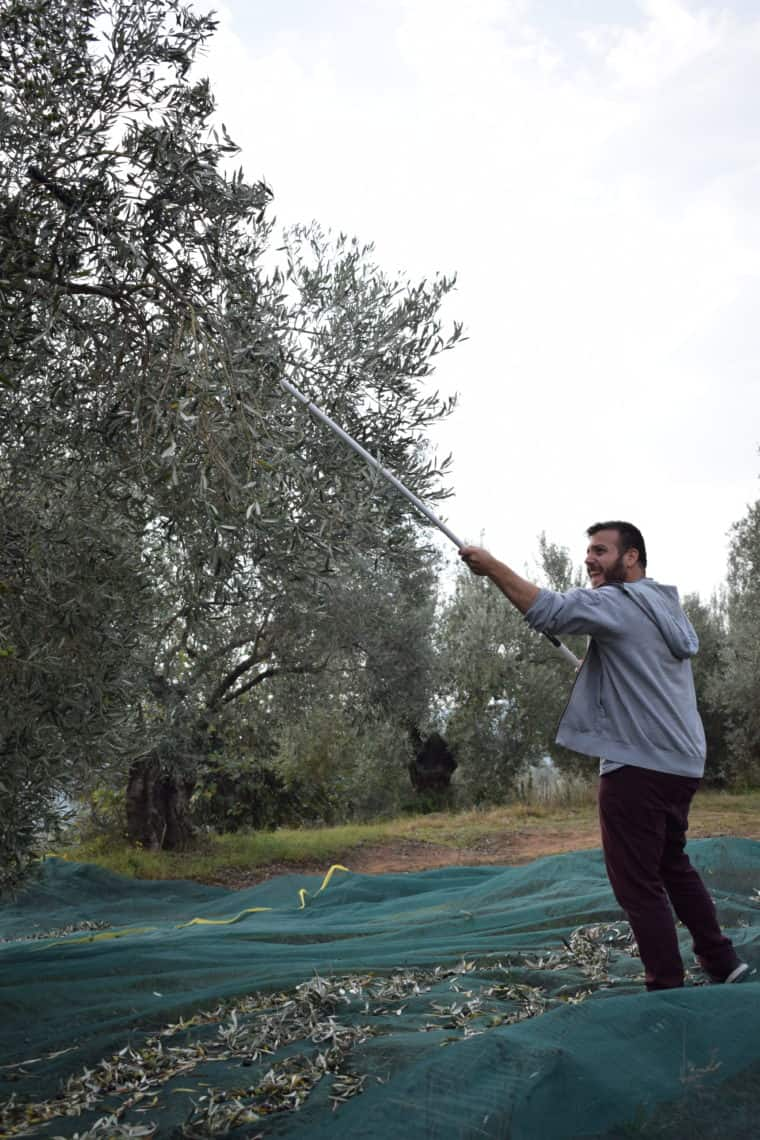 Athanasios is harvesting olives to create exquisite organic extra virgin olive oil Myrolion