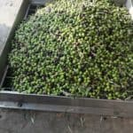 Olives about to be pressed, from our new harvest olive oil 2019