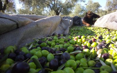 Olive Oil Giveaway |  A Year's Supply of Organic EVOO