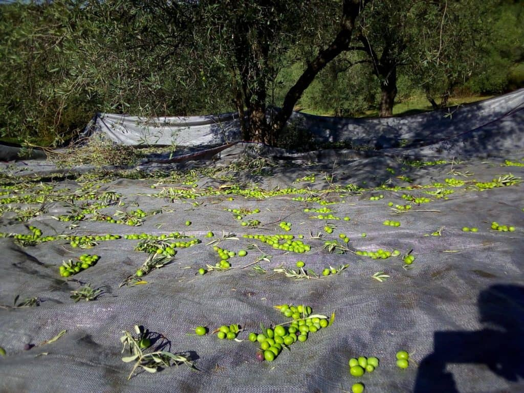 Harvested olives fall on the nets, from our new harvest olive oil 2019