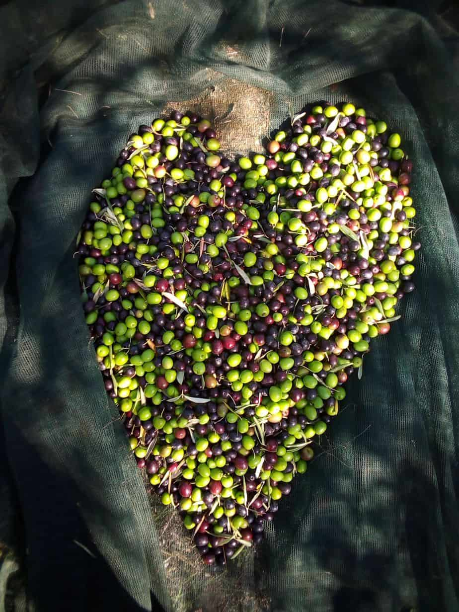 Olive fruit form a heart. From our new harvest olive oil 2019