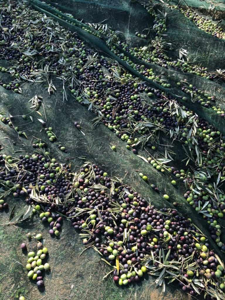 Freshly harvested olives waiting on the net waiting to be turned into High Phenolic Organic Extra Virgin Olive Oil Myrolion