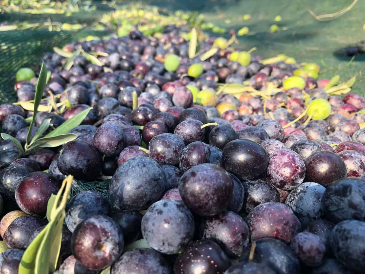 Harvested olives, from our new harvest olive oil 2019