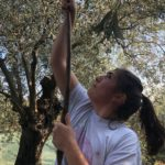 Caroline Harvests Olive Fruit with the Luros, from Our New Harvest Olive Oil 2019
