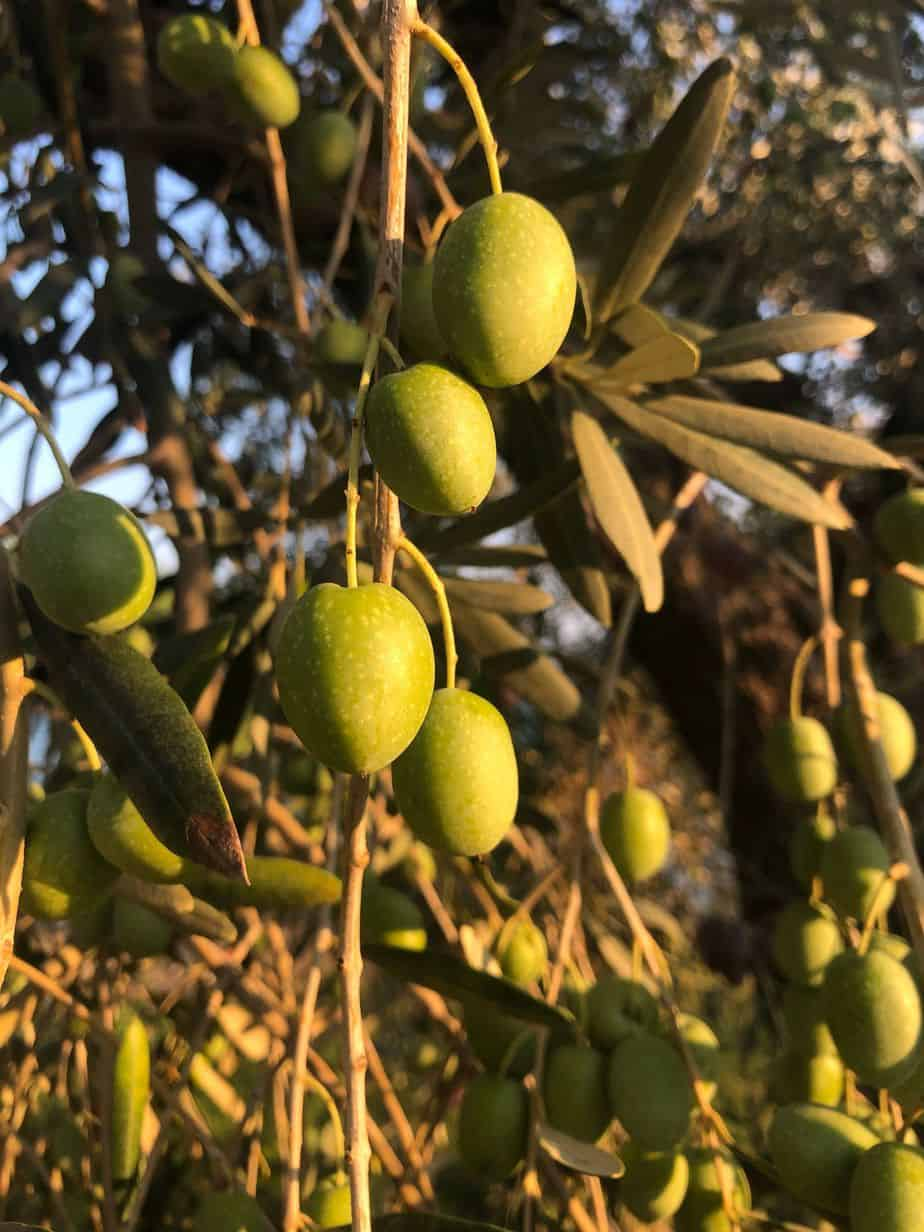 Olives to be harvested, from our new harvest olive oil 2019
