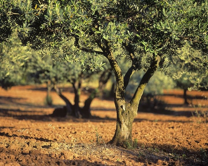 Conventional Olive Grove that does not produce organic olive oil.