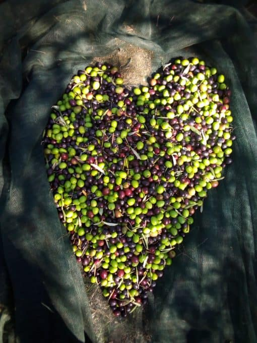 Freshly harvested olives ready to become organic olive oil