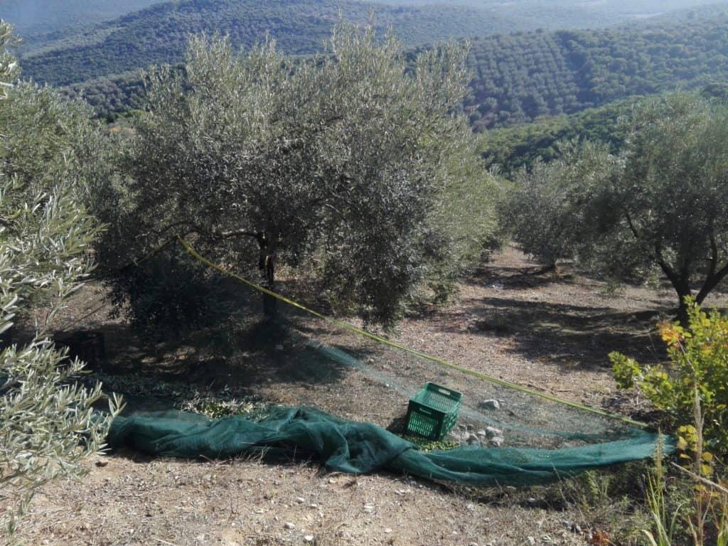 Myrolion Mountainous Olive Orchards