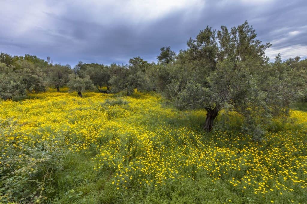 Greek Ecological Olive Grove