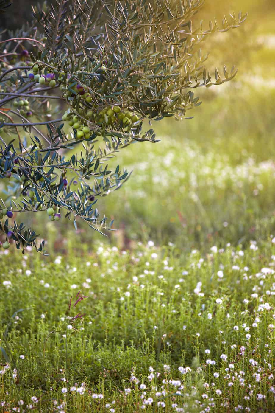 Organic Olive grove with blooming flowers