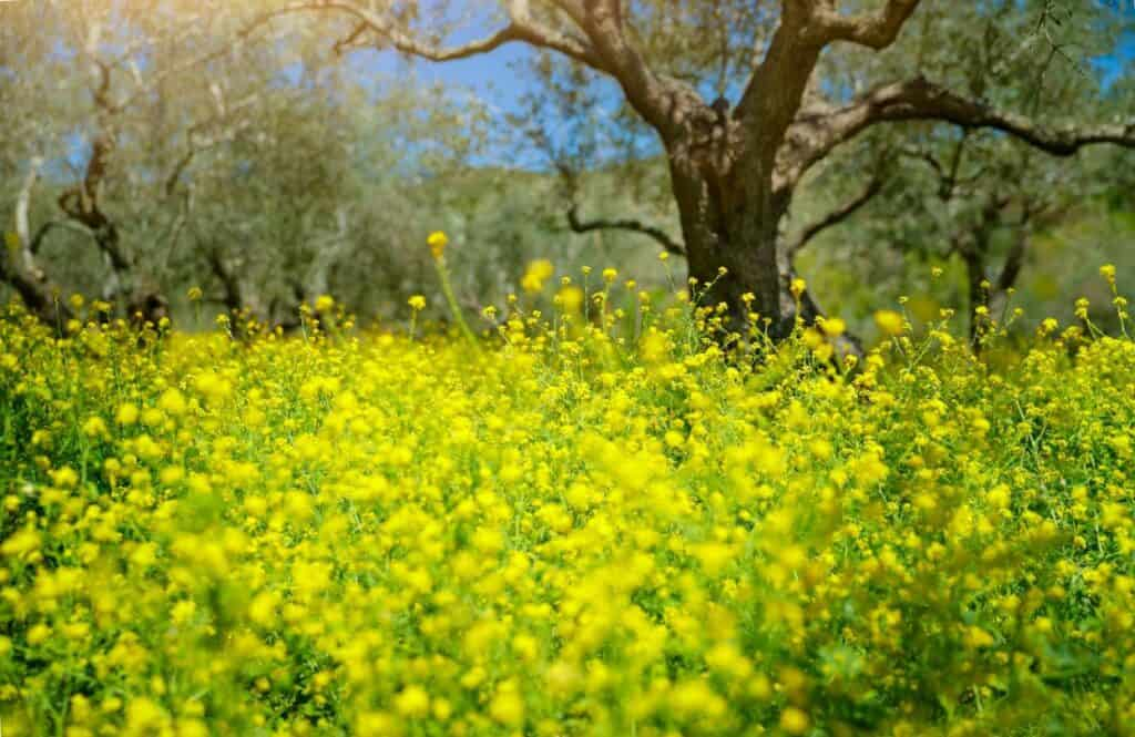 Olive grove in Greece during the spring.
