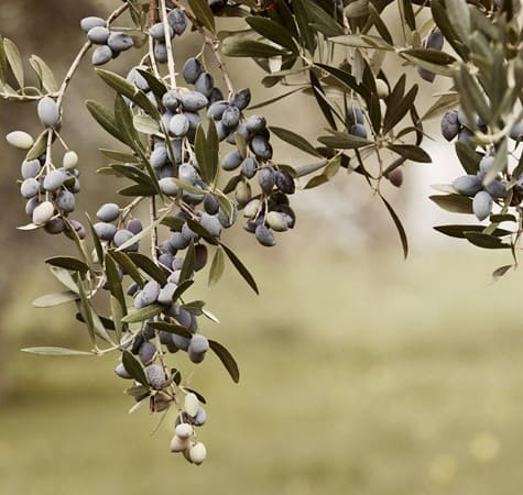 Koroneiki is the most popular Greek olive cultivar, used for the production of Greek olive oil.