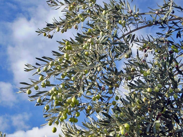 Manaki Greek olive cultivar used for the production of Greek olive oil.
