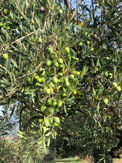 Unripe olive fruit in Myrolion olive farm