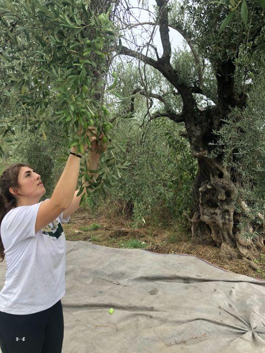 Caroline Harvests Olives by Hand