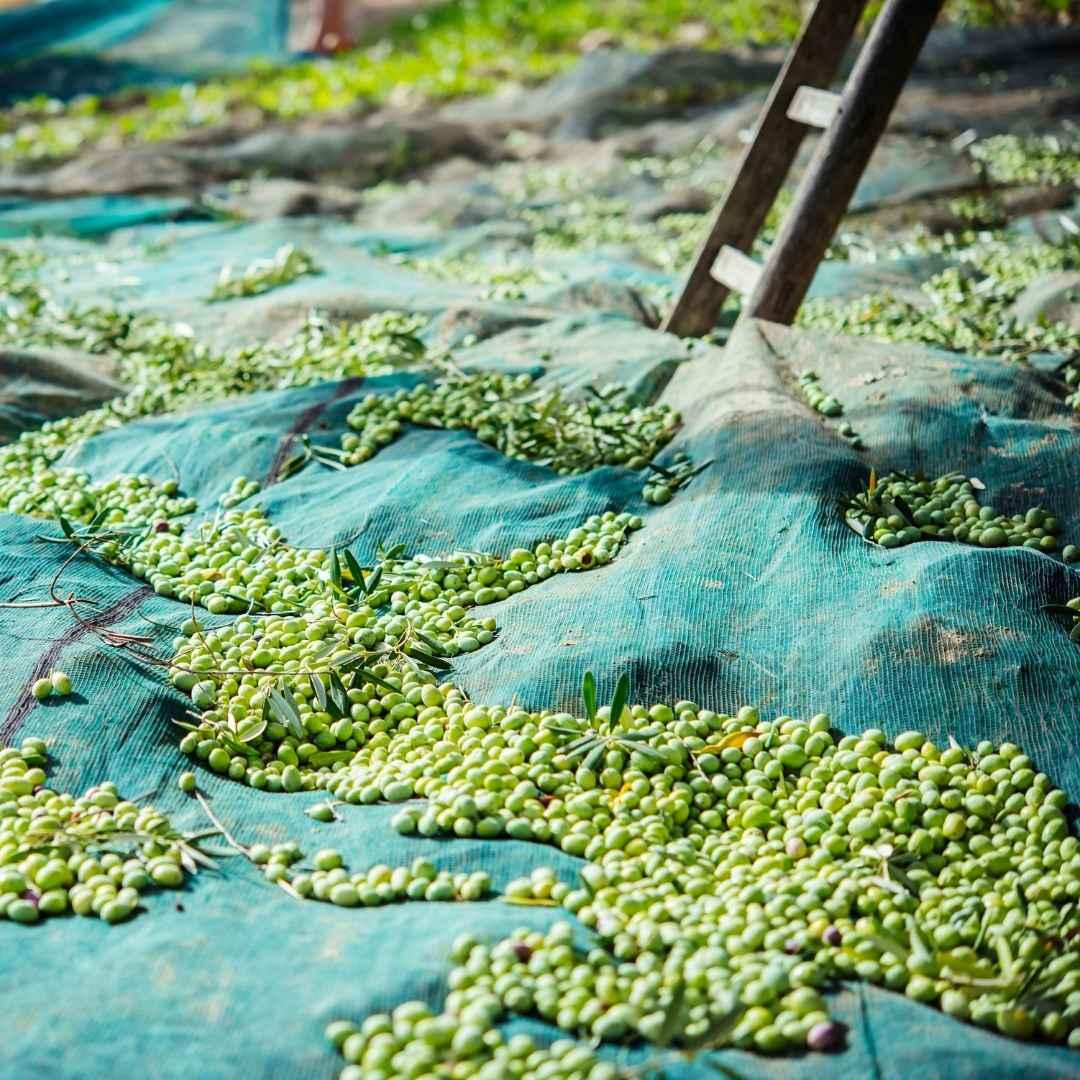 Myrolion October 2020 Olive Harvesting for Fresh Pressed Olive Oil